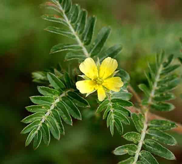 Растение трибулус